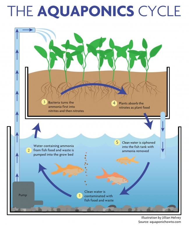 Creating sustainable food systems with aquaponics for How to cycle a fish tank