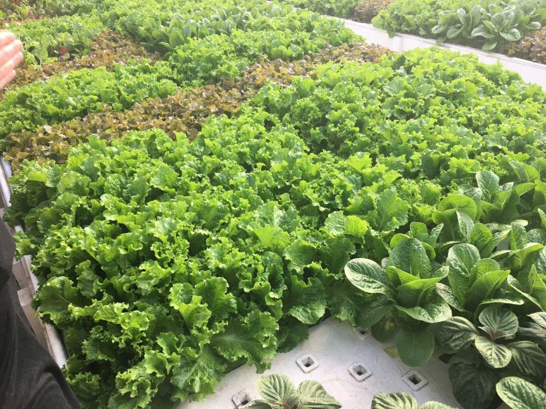 IAGI Give Back Program Can Help With Growth-Trays-in-deep-water-culture-beds-of-aquaponics-at-colrado-Aquaponics